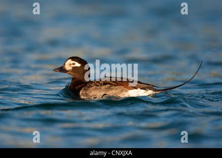 Le Harelde kakawi (Clangula hyemalis), homme sur un lac, Allemagne Banque D'Images