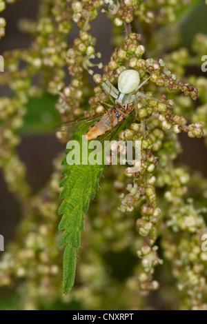 Houghton (Misumena vatia araignée crabe), camouflé avec fleur femelle capturée fly, Allemagne Banque D'Images