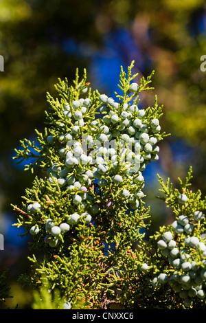 Utah) Genévrier (Juniperus osteosperma), de la direction générale avec des graines, USA, Arizona, Grand Canyon National Banque D'Images