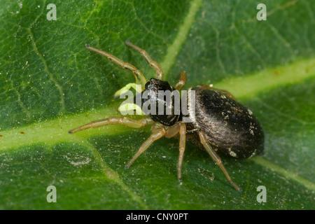 (Salticidae Heliophanus cupreus), assis sur une feuille, l'Europe, Allemagne Banque D'Images