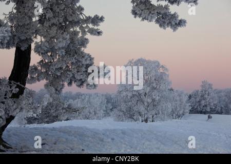 Les arbres et arbustes couverts de hoar, froast dans un paysage enneigé heath dans le premier soleil, Allemagne, Rhénanie du Nord-Westphalie, la réserve naturelle du Westruper Heide