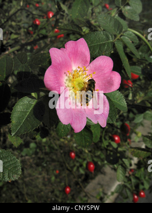 Sweet Briar Rose (Rosa rubiginosa), blooming eith hoverfly, Allemagne Banque D'Images