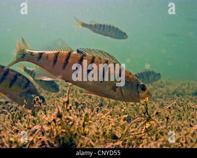La perche, sandre européen, Redfin perchaude (Perca fluviatilis), plusieurs poissons à la recherche de nourriture Banque D'Images