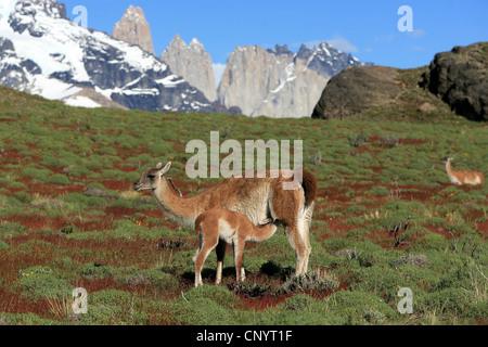 Guanaco (Lama guanicoe), mère allaitant son enfant, le Chili, le Parc National Torres del Paine