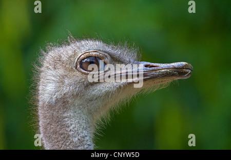 Autruche (Struthio camelus australis), portrait, Allemagne