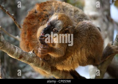 Lémurien brun à la façade rouge, l'Eulemur rufus, Lemuridae. Vakona Forest Lodge, Andasibe, Madagascar, Afrique. Banque D'Images