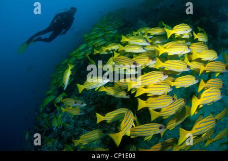 Chez les plongeurs de l'école jaune, argentinventris) sur South Ari Atol, Maldives Banque D'Images