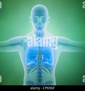 Système respiratoire avec illustration scientifique poumons visibles Banque D'Images