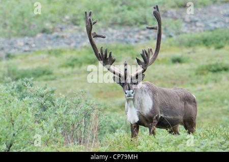 Grand caribou mâle dans le Parc National Denali et préserver, de l'intérieur de l'Alaska, l'été
