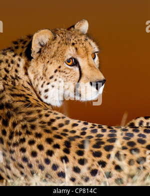 Au coucher du soleil, portrait Guépard (Acinonyx jubatus), Afrique du Sud Banque D'Images