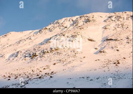 Red Deer haut sur les pentes des montagnes, Glen Clunie en hiver, Écosse, Royaume-Uni, Cairngorms Banque D'Images
