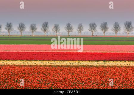 Ampoule néerlandais et champs de fleurs au printemps dans les Pays-Bas