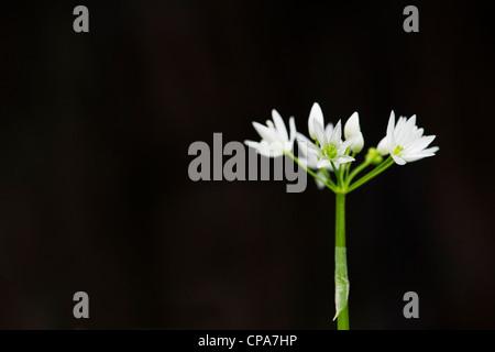 L'Allium ursinum. Ramsons. L'ail l'ail des bois / fleurs sur un fond sombre Banque D'Images