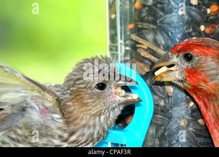 Roselin familier mâle coloré,nourrit ses jeunes.