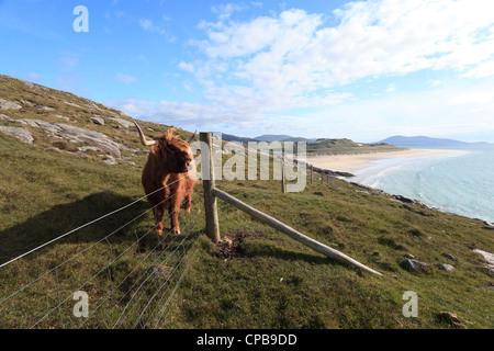 Une vache highland près de Luskentyre plage sur l'île de Harris dans les Hébrides extérieures d'Écosse Banque D'Images