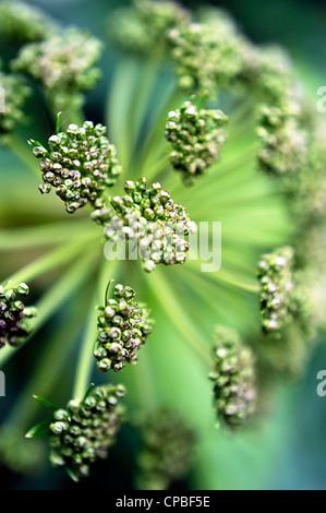 Angelica archangelica plante à partir de ci-dessus Banque D'Images