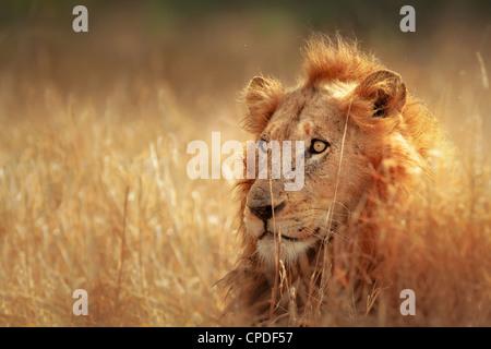 Grand mâle lion couché dans la prairie dense - Parc National Kruger - Afrique du Sud Banque D'Images