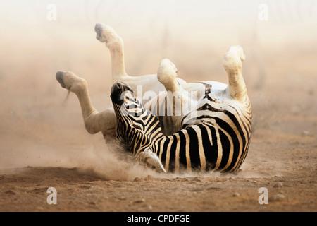 Zebra roulant sur le sable blanc poussiéreux d'Etosha. Banque D'Images