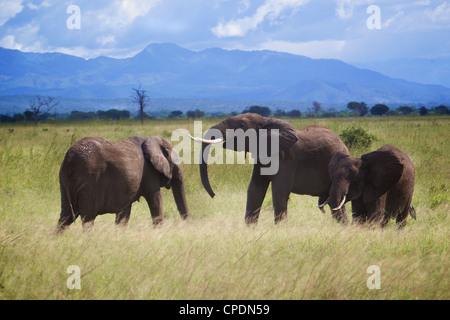 African elephant Loxodonta africana famille chaque message d'autres. Parc national de Mikumi.Tanzanie Afrique. Banque D'Images