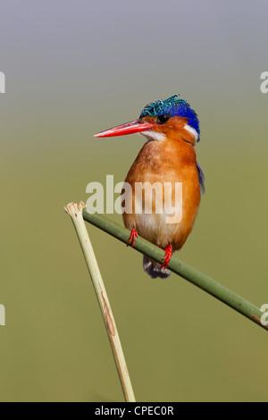 Martin-pêcheur huppé Alcedo cristata perché sur la tige de roseau au lac Awassa, Ethiopie en février. Banque D'Images