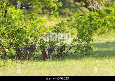 Du sud de l'Inde ou du Sri Lanka, Chacal Canis aureus naria, parc national de Yala, au Sri Lanka, en Asie
