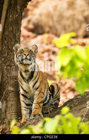 Un 9-month-old Bengal Tiger Cub recherche dans la Réserve de tigres de Bandhavgarh, Inde Banque D'Images