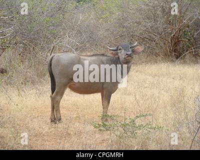 Wild Water buffalo, Bubalus arnee, parc national de Yala, au Sri Lanka, en Asie Banque D'Images