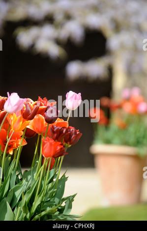 Tulipes dans un pot dans un jardin Anglais UK