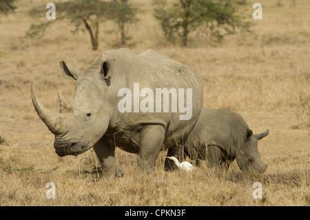 Le rhinocéros blanc vache et veau Banque D'Images