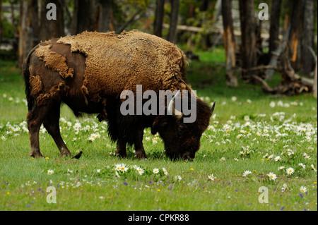 Le bison d'Amérique (Bison bison) dans la zone de white mule-oreilles fleurs Parc National de Yellowstone , Wyoming Banque D'Images