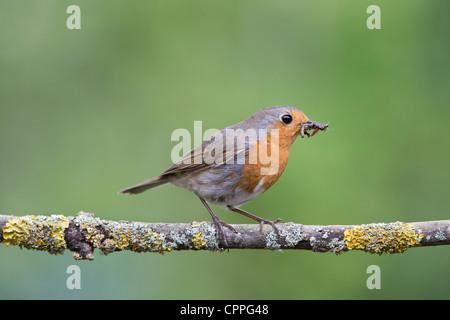 Robin perché sur une branche avec des vers blancs dans son bec Banque D'Images
