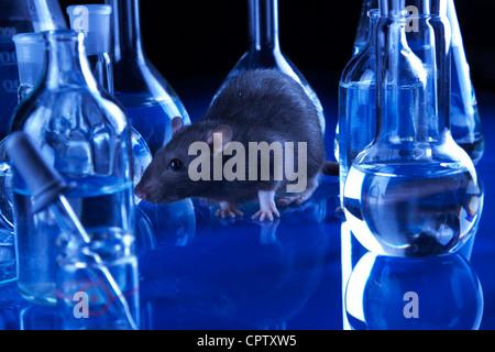 Les rats en laboratoire. Des expériences réalisées sur des animaux Banque D'Images