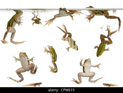 Les grenouilles comestibles, Rana esculenta, et les têtards de nage sous l'eau contre fond blanc Banque D'Images