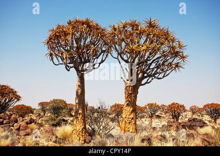 Quiver Tree en Namibie, Afrique Banque D'Images