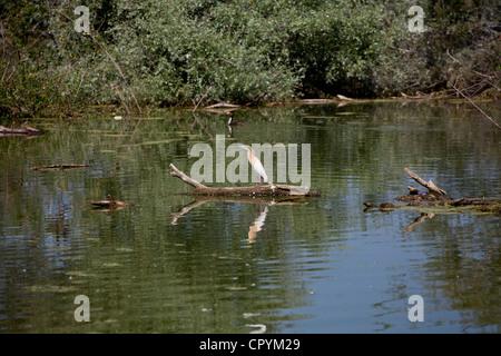 Erodios,lake Kerkini,grèce,nature,oiseaux,l'écosystème Banque D'Images