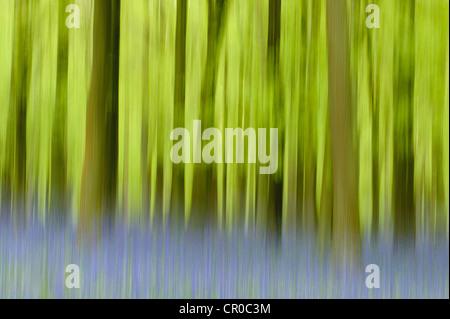 Impression photographique de bois bluebell au printemps. Forêt de Ashridge dans le Hertfordshire, en Angleterre. Mai.
