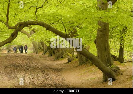 Les gens qui marchent dans les bois de hêtre au printemps. Forêt de Ashridge, Hertfordshire, Angleterre. Mai.