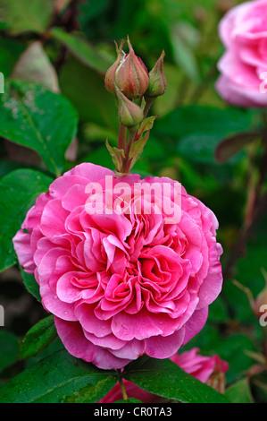 Rose rose (Rosa), 'Gertrude Jekyll', fleurs avec reservoir Banque D'Images