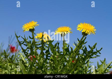 Blossoming Pissenlit (Taraxacum officinale), Upper Bavaria, Bavaria, Germany, Europe
