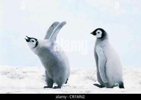 Manchot Empereur (Aptenodytes forsteri) les poussins, mer de Weddell, l'Antarctique Banque D'Images