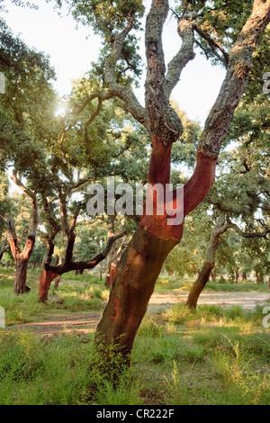 Dépouillé lièges en forêt rurale Banque D'Images