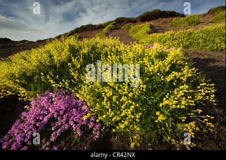 Le silène acaule ou un coussin Rose (Silene acaulis) et du Hoppe Alchémille (Alchemilla hoppeana) dans le domaine de la lave