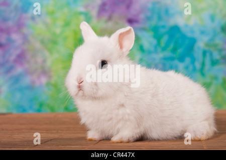 Jeune lapin nain blanc