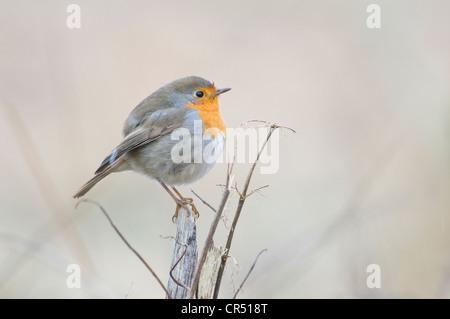 Robin (Erithacus rubecula aux abords), Haren, de l'Ems, Basse-Saxe, Allemagne, Europe Banque D'Images
