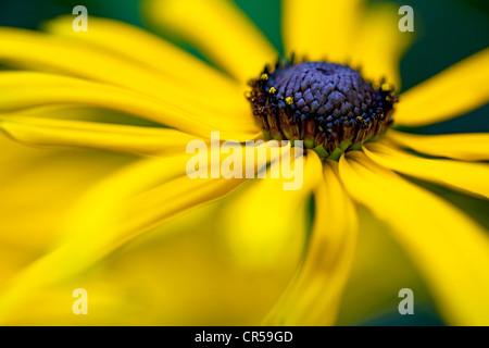Une photo en gros plan d'une fleur de Rudbeckia Banque D'Images