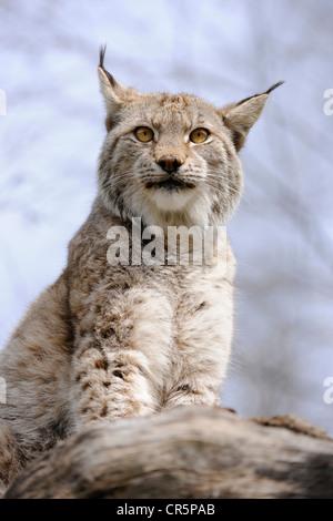 Le Lynx (Lynx lynx), zoo Tierpark Suhl, Thuringe, Allemagne, Europe Banque D'Images