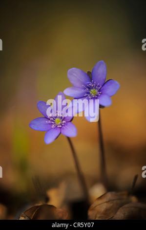 L'hépatique (anemone hepatica), Allemagne