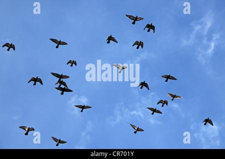 Les pigeons voler contre un ciel bleu, Lahr, Bade-Wurtemberg, Allemagne, Europe Banque D'Images