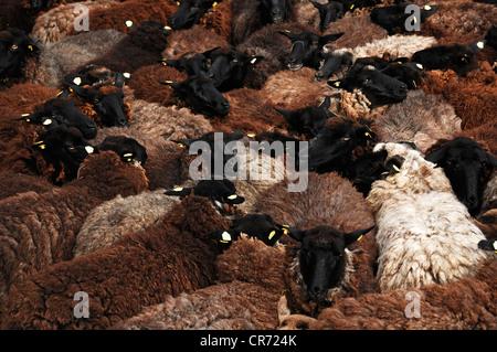Moutons dans un enclos surpeuplés en attente de Shaun, Roegnitz, Mecklembourg-Poméranie-Occidentale, Allemagne, Banque D'Images