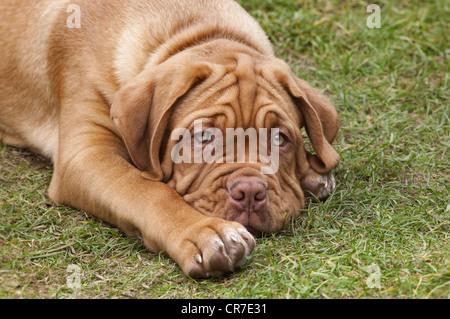 Dogue de Bordeaux chiot à 12 semaines Banque D'Images